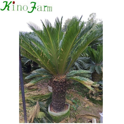 Wholesale Natural Plant Cycas Tree