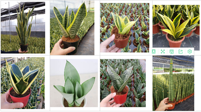 Green Hahnii Green Sansevieria variegated snake plant