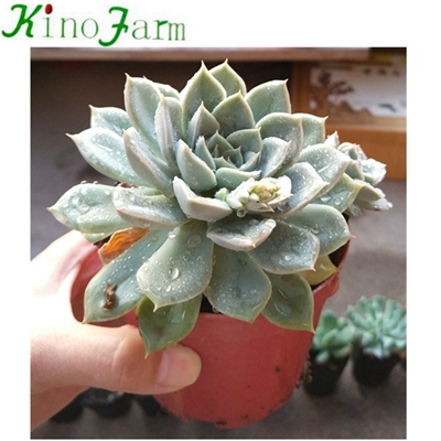 Natural Plant Indoor succulent Plants For Sale