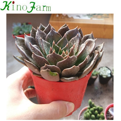 Natural Plant Indoor Flowering Succulents