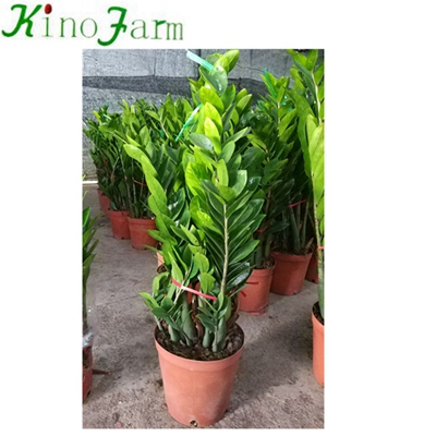 Natural Indoor Plant Zamioculcas Zamiifolia