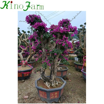 Natural Plant Outdoor Plant Bougainvillea