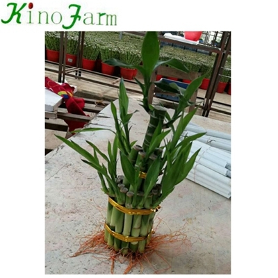 Lucky Bamboo Plants For Sale