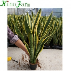 Wholesale Indoor Plant Sanseveria Kinofarm