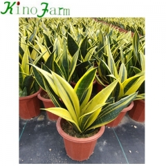 Golden Sansevieria