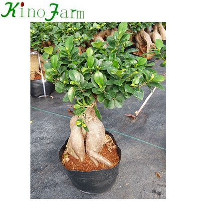 Ficus Ginseng Bonsai for sale
