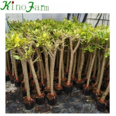 Indoor Natural Plant Ficus Benghalensis Kinofarm