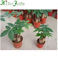 pachira money plant