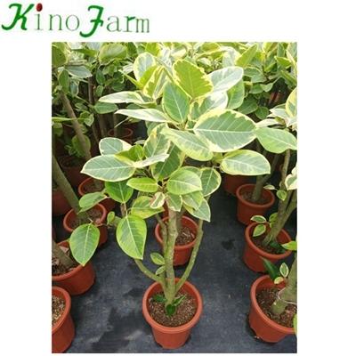Natural Plant Ficus Benghalensis Ficus Microcarpa Bonsai Agents Natural Plant Ficus Benghalensis Ficus Microcarpa Bonsai Suppliers