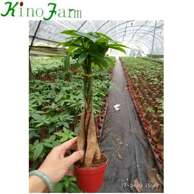 Money Tree Pachira