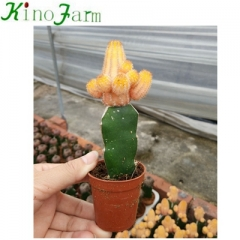 Wholesale Nautral Plant cactus flower