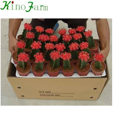 Flowering cactus plants