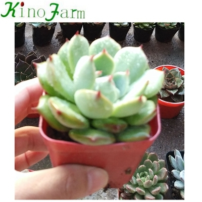 Indoor succulent plants for sale