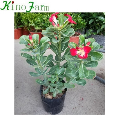 Natural Plant adenium desert rose