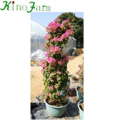 Wholesale Outdoor bougainvillea bonsai