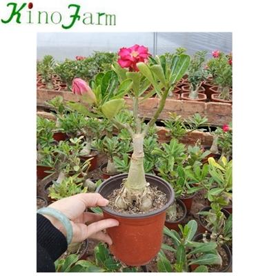 Wholesale Adenium Desert Rose China Agents,Wholesale Adenium