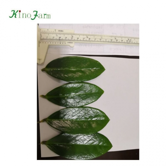 Zamioculcas leaves,plant leaves,